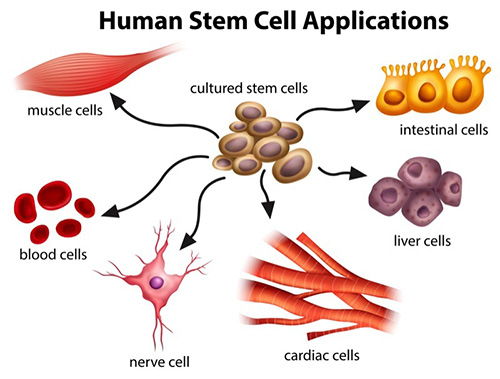 stem-cell-develops-in-to-many-types